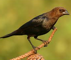 brown headed cowbird and songbird symbiotic relationship worksheet